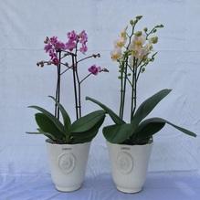 Blumen & Besonderes:Zwei Orchideen