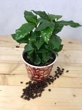 ''Coffea Arabica'' die Kaffee Pflanze