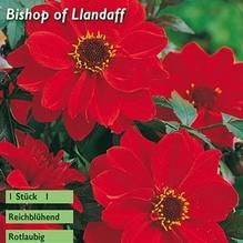 päonienblütige Dahlie 'Bishop of Llandaff'