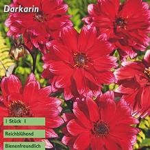 päonienblütige Dahlie 'Darkarin'