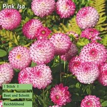 Pompon-Dahlie 'Pink Isa'