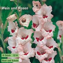 Gladiole 'Wein und Rosen'