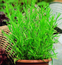 Französischer Estragon 'Pfefferkorn', Pflanze Topf 11 cm, Gärtnerqualität aus Birkenried