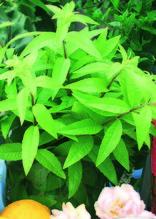 Zitronenverbene 'Freshman', Pflanze Topf 11 cm, Gärtnerqualität aus Birkenried