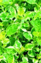 Weissgefleckter Oregano 'Panta', panaschiert hängend kriechend, Pflanze Topf 11cm, Gärtnerqualität aus Birkenried