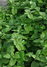 Zitronenmelisse 'Fit', Pflanze Topf 11 cm, Gärtnerqualität aus Birkenried