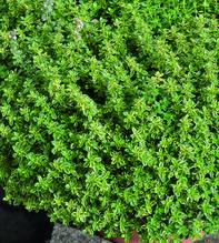 Zitronenthymian 'Mystic Lemon', Pflanze Topf 11cm , Gärtnerqualität aus Birkenried