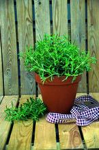 Staudenbohnenkraut 'Bolero', Bohnenkraut-Pflanze Topf 11 cm, Gärtnerqualität aus Birkenried