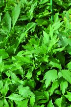 Liebstöckel, Maggikraut 'Verino®', Liebstöckel-Pflanze Topf 11 cm, Gärtnerqualität aus Birkenried