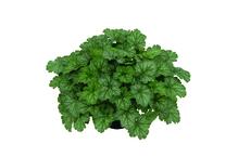 Heuchera - Purpurglöckchen 'Little Cuties - Peppermint', Pflanze Topf 12 cm, Gärtnerqualität aus Birkenried