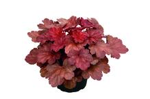 Heuchera - Purpurglöckchen 'Cherry Cola', Pflanze Topf 12 cm, Gärtnerqualität aus Birkenried