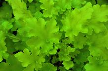 Heuchera - Purpurglöckchen 'Lime Marmalade', Pflanze Topf 12 cm, Gärtnerqualität aus Birkenried