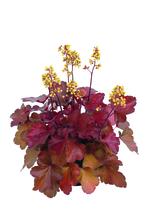 Heuchera - Purpurglöckchen 'Little Cuties - Blondie', Pflanze Topf 12 cm, Gärtnerqualität aus Birkenried