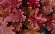 Heuchera - Purpurglöckchen 'Red Fury' - in Gärtnerqualität von Blumen Eber
