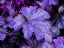 Heuchera - Purpurglöckchen 'Blackbeery Jam' - in Gärtnerqualität von Blumen Eber